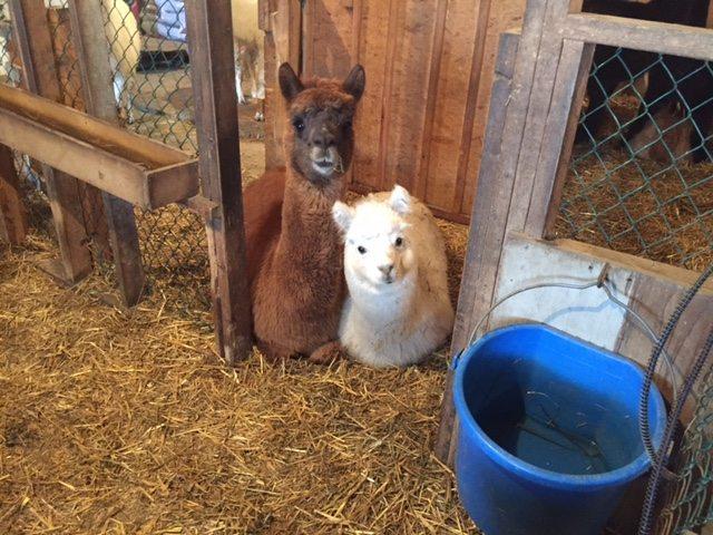 brabant alpaca ranch